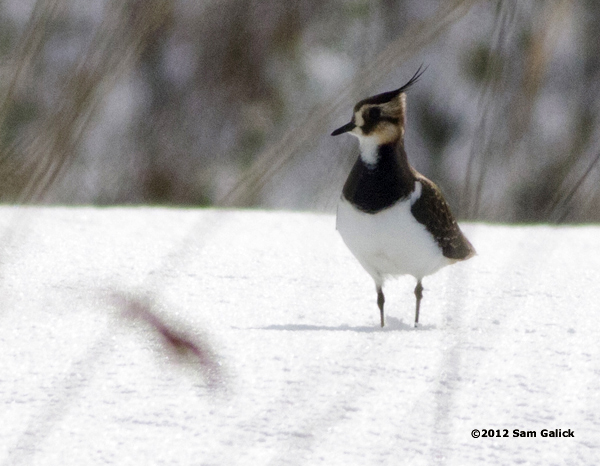 ABArare Northern Lapwing Galick NJ 01