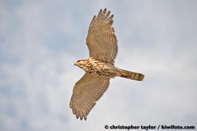 ABArare Gray Hawk CA flight Taylor