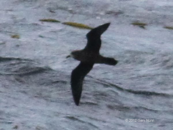 ABArare Great-winged Petrel 02