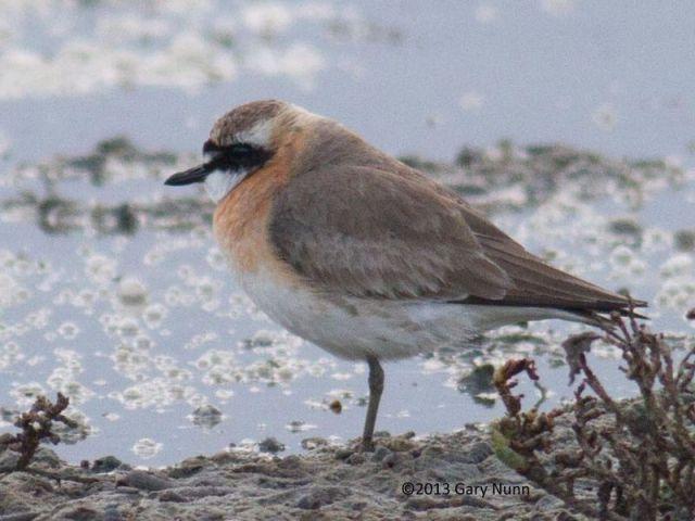 ABArare Lesser Sand-Plover Gary Nunn