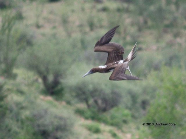 ABArare Blue-footed Booby Arizona Core 01