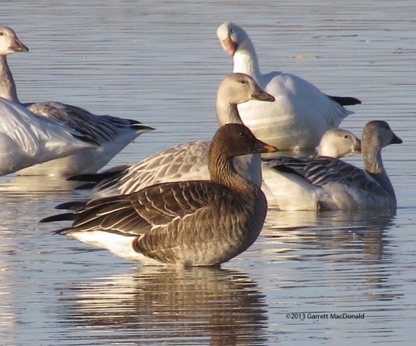 Tundra Bean-Goose at Unit 1 of the Sonny Bono Salton Sea NWR. Photo by Garrett MacDonald.