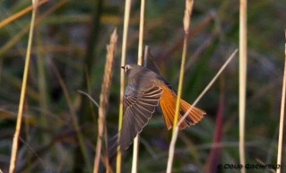 Common Redstart. Photo by Doug Gochfeld.