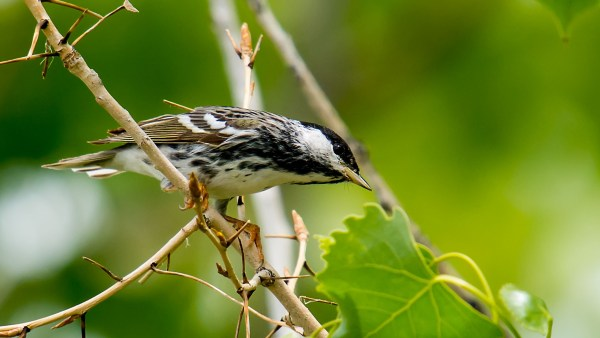 Blackpoll Warblers undertake one of the longest migrations of any passerine in the Americas, photo by Steve Thompson via flickr