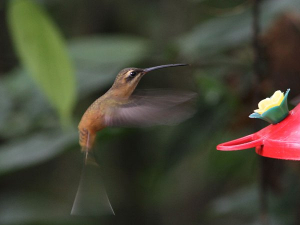 The endemic Koepcke's Hermit, named for the influential ornithologist Maria Koepcke. Photo by Marcelo Padua.