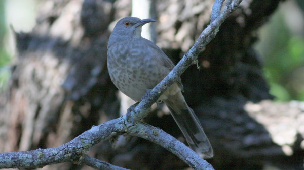 Potentially Plateau Thrasher in Hidalgo Co, Tx, identified by location and tail patter, photo by Nate Swick