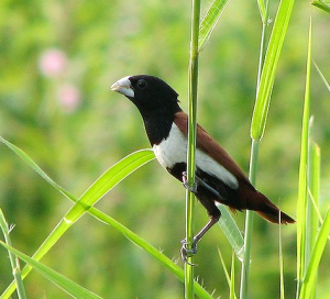 Tricolored Munia. Photo by Krayker.