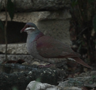 Key West Quail-Dove on Cayo Coco, Cuba. Photo by Michael Retter.