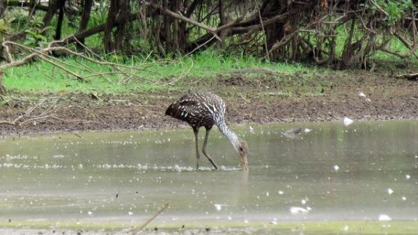 This Limpkin in Catawba Co, NC, is notable not only for being the first in the state in nearly 20 years, but the third farthest north record ever of this subtropical species. Photo by Lori Owenby