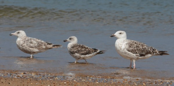 Gulls at Race Point Beach, Massachusetts; July 20, 2015. Photo by © Amar Ayyash.