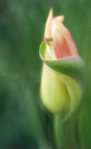 Tip 4 Kathleen Clemons Tulip curls tex site