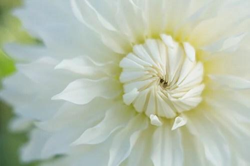 Tip 5 kathleen Clemons White Dahlia site