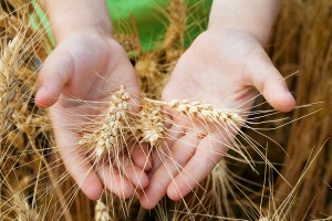 Wheat ears in the child hands
