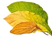 タバコの葉 バージニア種