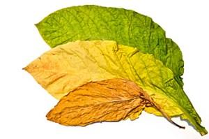 たばこの葉 バージニア種