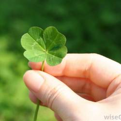 Luck O the Four Leaf Clover Avas Flowers