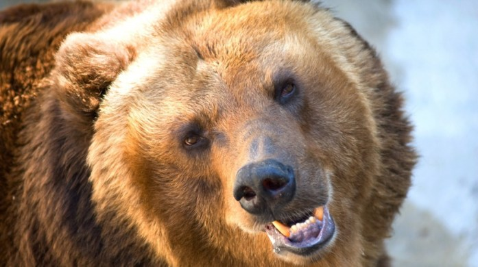 grizzly-e1462721164150-1024x574