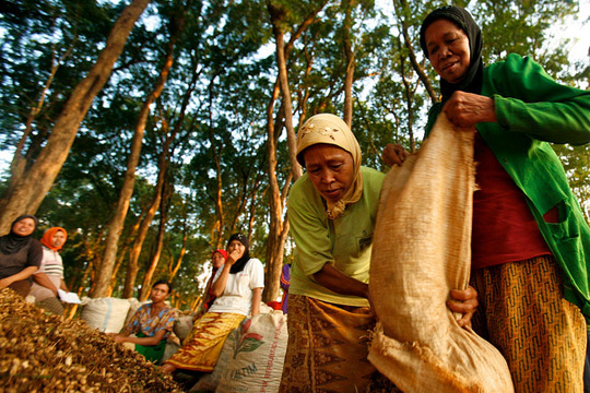 Women in Jepara teak forest area harvest ground nuts, Central Java, Indonesia, June, 2009. © CIFOR/Murdani Usman