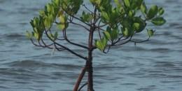 Mangrove di desa Pejarakan Village, Indonesia. Foto oleh Aulia Erlangga untuk CIFOR
