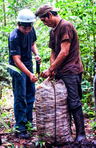 University student Hideki Kohagura Arrunatogui works with harvester Serapio Condori Daza to weigh the Brazil nuts produced by one tree.  Marco Simola/ CIFOR