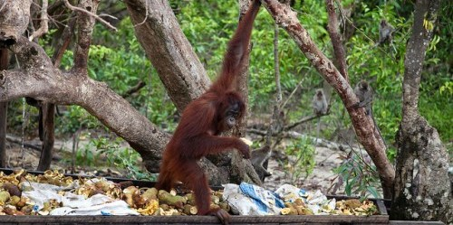 """Membentuk ulang kebijakan internasional yang melindungi monyet besar dan penghidupan masyarakat sekitarnya menjadi sangat penting untuk menemukan manfaat positif bagi keduanya,"""" kata Terry Sunderland, ilmuwan senior Pusat Penelitian Kehutanan Internasional (CIFOR). Kredit foto: Terry Sunderland"""