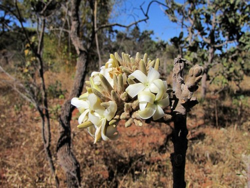 The Cerrado is home to some of the richest diversity of plant species of any savanna in the world. Mauricio Mercadante