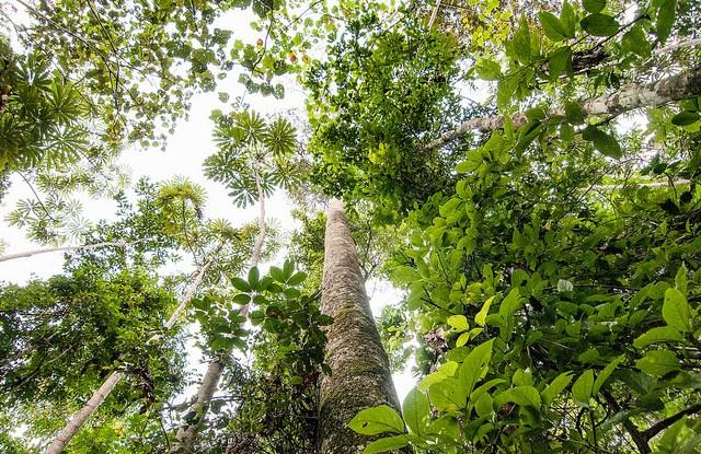 Studi baru ini membantu pemahaman dinamika tegakan tua-pertumbuhan pohon dan pohon-pohon besar di tegakan hutan, ujar Louis Verchot, direktur hutan dan penelitian lingkungan CIFOR. Foto: CIFOR / Aulia Erlangga