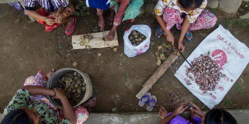 Buah hasil hutan: Masyarakat desa Lubuk Beringin, propinsi Jambi tengah memotong-motong buah palem. Tri Saputro/CIFOR photo