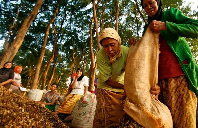 Mujeres en un bosque de teca en Jepara cosechan cacahuetes, en Java Central, Indonesia. CIFOR/Murdani Usman