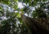 Trees in the forest near Lubuk Beringin village, Bungo district, Jambi province, Indonesia. Tri Saputro/CIFOR photo