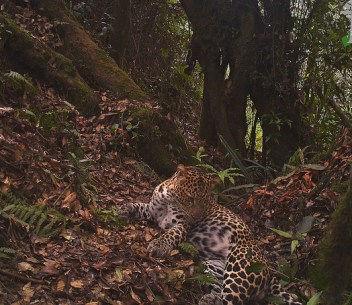 A Javan leopard caught on a camera trap in Gunung Halimun-Salak National Park, West Java, Indonesia. CIFOR photo