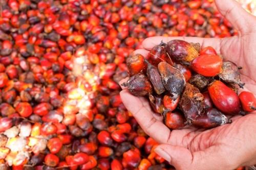 Buah kelapa sawit, Kalimantan Timur, Indonesia. Kelapa sawit bersertifikat dapat membantu memastikan bahwa komoditas berharga ini tidak hadir dengan mengorbankan hutan. Moses Ceaser/CIFOR photo