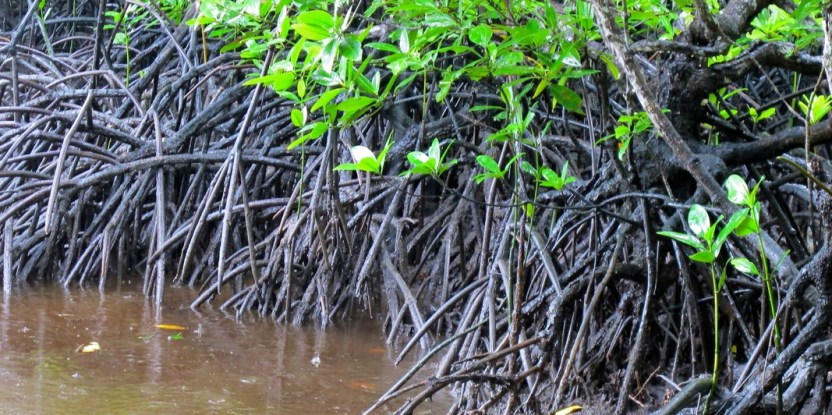 In the past 30 years, Indonesia has lost over 40 per cent of its mangroves.