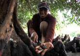 Masyarakat mengumpulkan kerang dari akar mangrove di Karang Sewu, Gilimanuk, Bali. Ekosistem pantai dan laut menyediakan sejumlah layanan ekosistem berharga, mulai dari perikanan dan perlindungan pantai, sampai stok karbon.  Photo CIFOR
