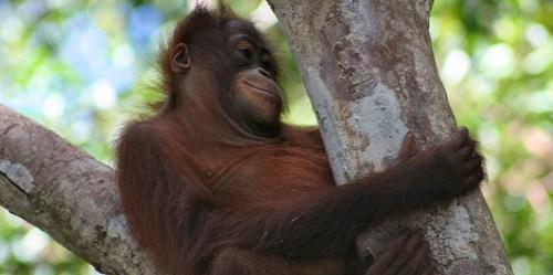 Anak orangutan (Pongo pygmaeus) beristirahat muda di pohon di Taman Nasional Tanjung Puting. Dengan luas 3,040 kilometer persegi, taman ini memiliki sejumlah habitat  orang utan yang berbeda di Kalimantan Tengah. Terry Sunderland/CIFOR