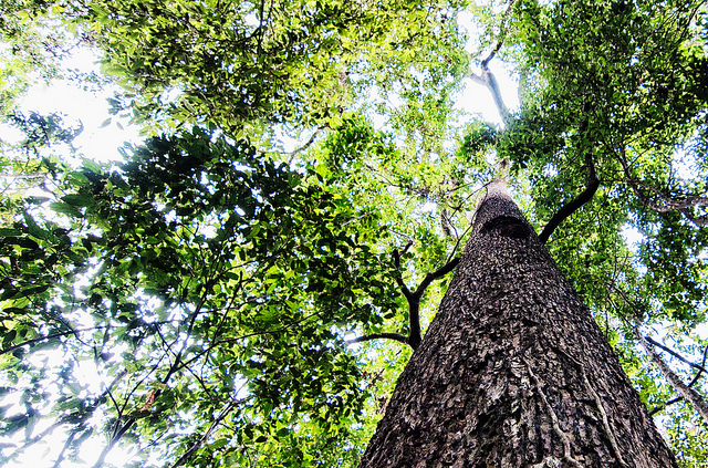 BRAZIL NUT SPECIAL: Brazil nuts and selective logging