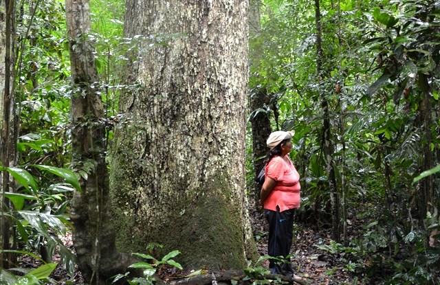 Los mismos bosques amazónicos podrían utilizarse para la extracción tanto de madera como de castañas, si se siguen ciertas reglas. Foto Manuel Guariguata.