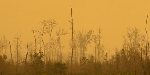 Indonesia akan segera memberlakukan kaji ulang perizinan, pemberian konsesi di lahan-lahan gambut sebagai bagian dari program restorasi pencegahan kebakaran hutan dan lahan. Aulia Erlangga/CIFOR