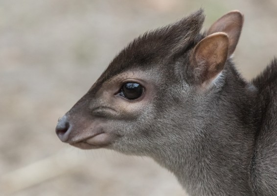 The Blue Duiker was  predicted to face intense pressure from hunting, but these fears were unfounded. Bart Jekel.