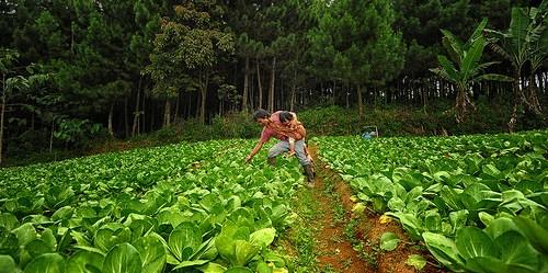 Pertanian cabai di kaki gunung Gede Pangrango. Pertanian, kehutanan dan penggunaan lahan lainnya (AFOLU) mewakili 20-24% dari emisi (GRK) gas rumah kaca global.