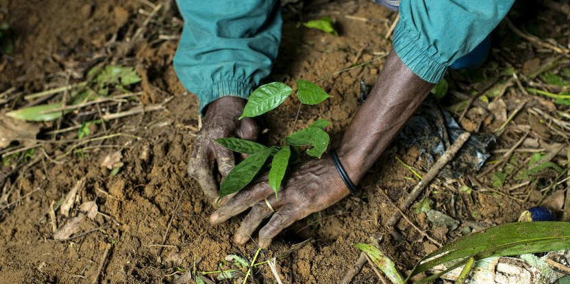 Planting Gnetum in Minwoho, Cameroon. Participatory approaches to forestry have had mixed success in Central Africa, research shows.