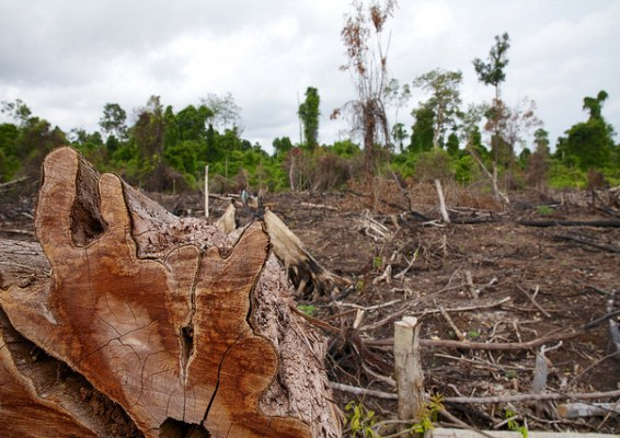 Peat is partially decayed vegetation that has accumulated over many years. When peatlands are cleared and drained  for plantations, including those for palm oil and pulp and paper, it becomes dry and vulnerable to fires.