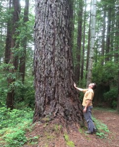 Champion Pinus radiata
