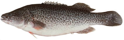 We have demonstrated that CyHV-3 does not pose a danger to 13 native species, including the Murray cod