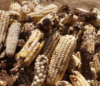 Maize cobs speckled with a brown powder.