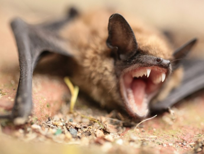 Should you be scared of bats this Halloween?