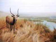 Cal Academy African Antelope