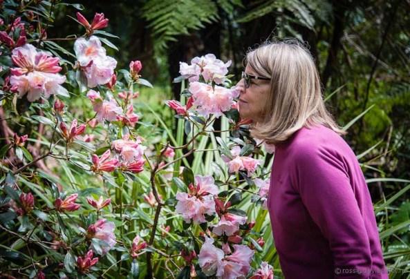 Rhododendrons Pukeiti Gardens Taranaki