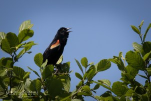 Male Black Bird Calling