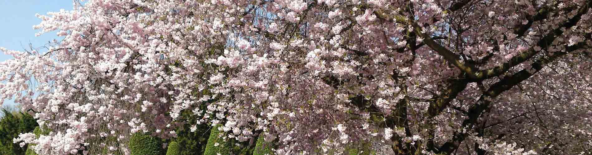 Blog_SpringFlowers_CherryBlossom_1900x500_Q120
